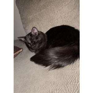 Image of Humo, Lost Cat